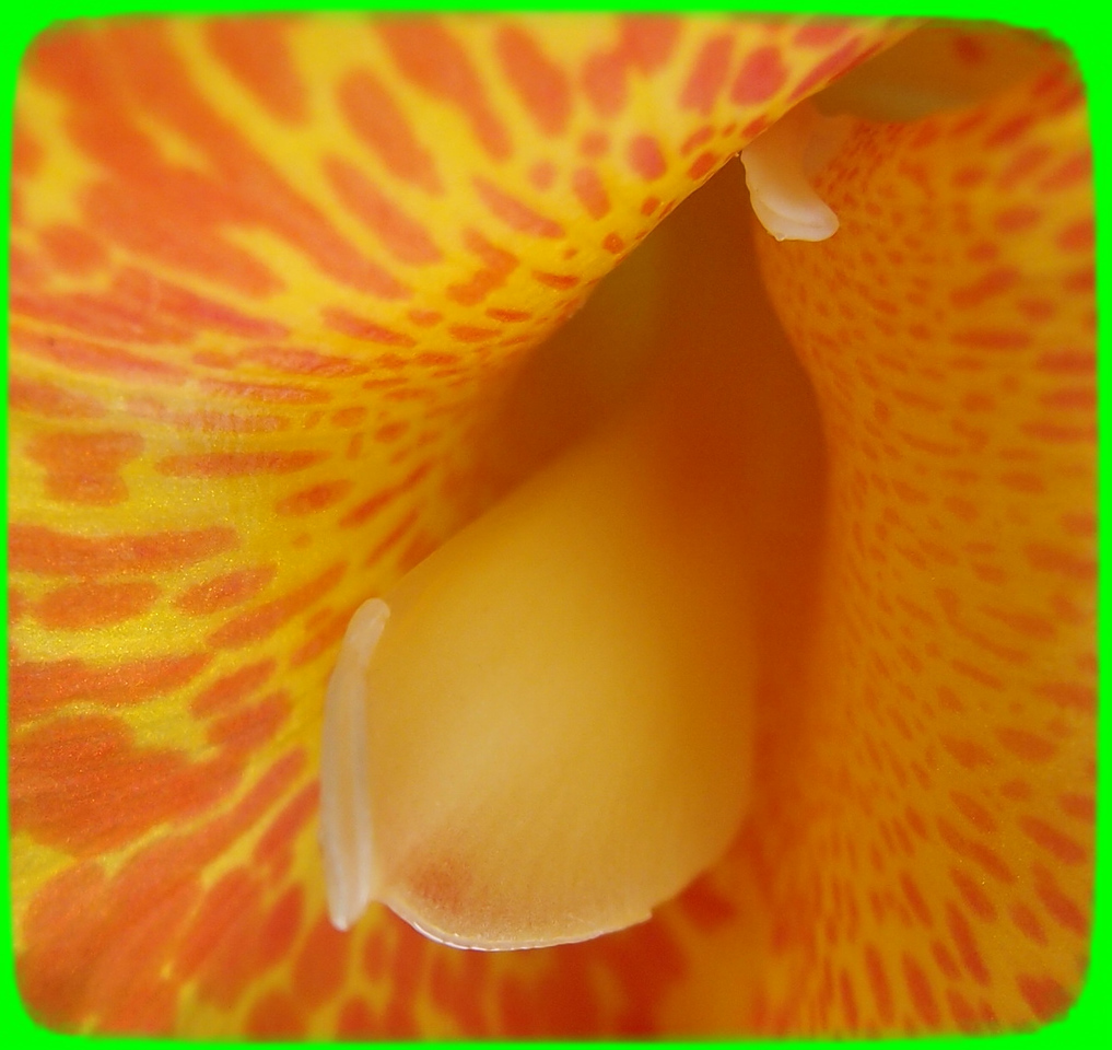 Center of canna lily flower