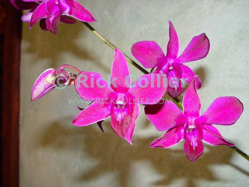 Amanoka Villa, Discovery Bay, Jamaica.  Orchids thrive in the tropical air around Amanoka.  (Dendrobium orchid)  © Rick Collier<br /> <br /> <br /> <br /> <br /> <br /> Jamaica Discovery Bay Amanoka Villa tropical orchid flower dendrobium red pink fuscia