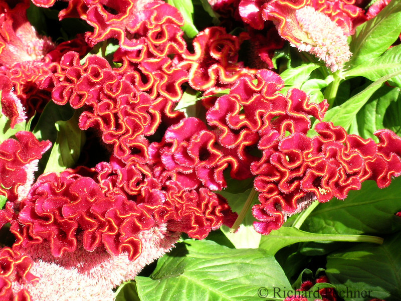 French Cockscomb Celosia
