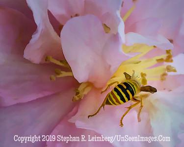 Bee on Pink Flower ja _H1R0448