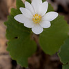 Bloodroot - April 2008