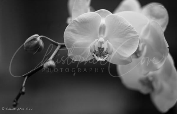 Montone Orchids