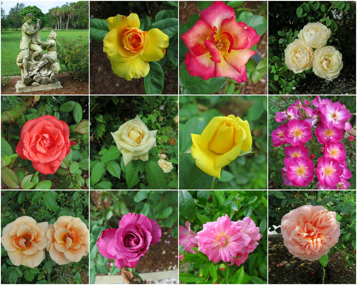 Roses from the Mable Ringling rose garden. Sarasota, Florida.