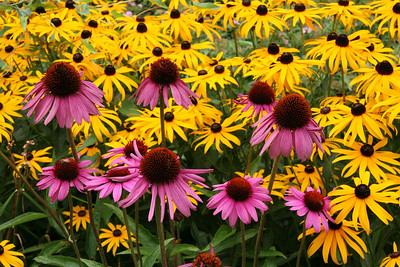 Field of Brown Eye'd Susan's in Biddeford Pool, Maine #9649