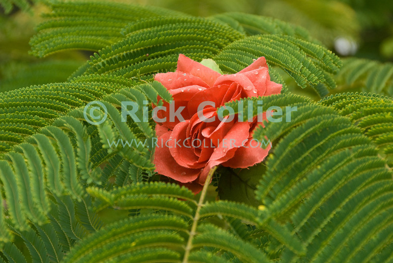 Saba - Someone decorated low branches of a tree with a silk rose (artificial flower).  Windwardside, Saba.  © Rick Collier