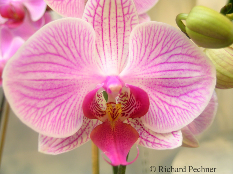 James Story Orchid