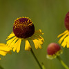 Purple headed Sneezeweed - July 29, 2012