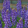 Long-leaf Lupine