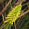 Dwarf Yellow Poker Plant...