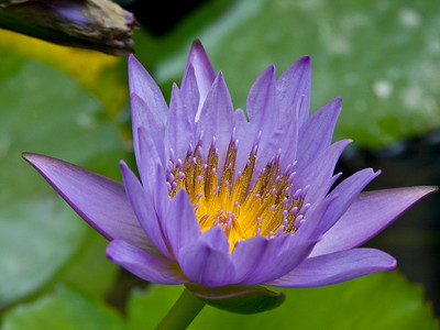 Hong Kong Water Lily