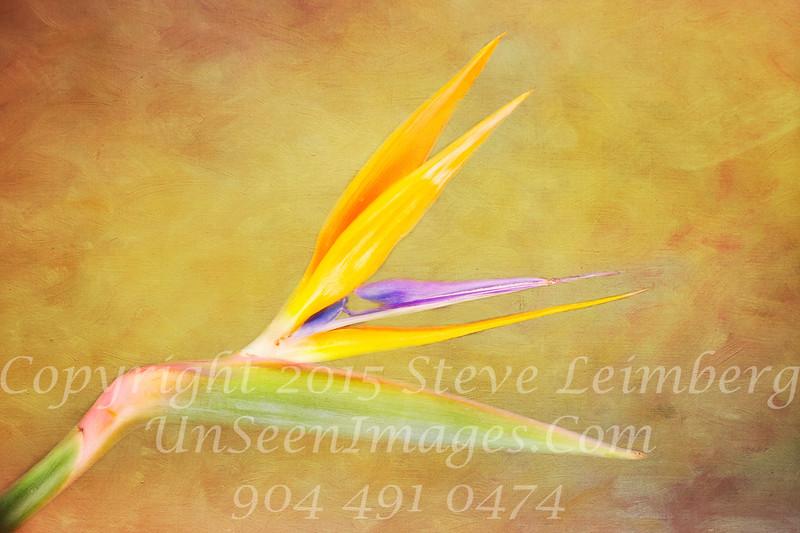 Bird of Paradise Copyright 2018 Steve Leimberg UnSeenImages Com _DSF3944
