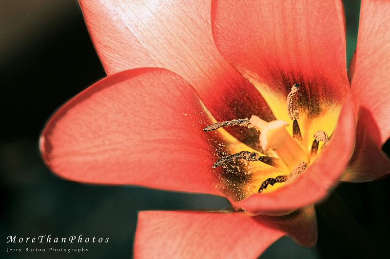 Just another Tulip