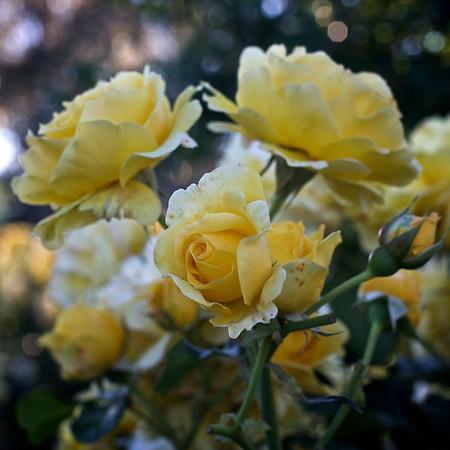 Roses_2010-11-17_632_DJB_rights_reserved