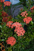 St. Eustatius (Statia) - Flower.  © Rick Collier