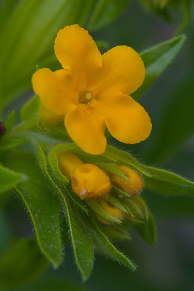 Puccoon - May 22, 2013