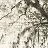 Preserve This Tree Too B&W - Copyright 2015 Steve Leimberg - UnSeenImages Com _M1A9213