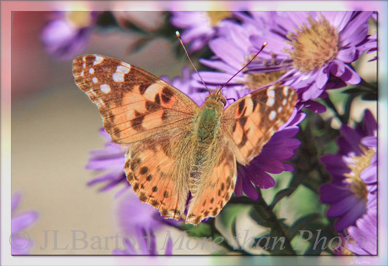 Butterfly on Asters Looks to be a Cynthia cardui (Distelfalter, Painted Lady), already getting old.