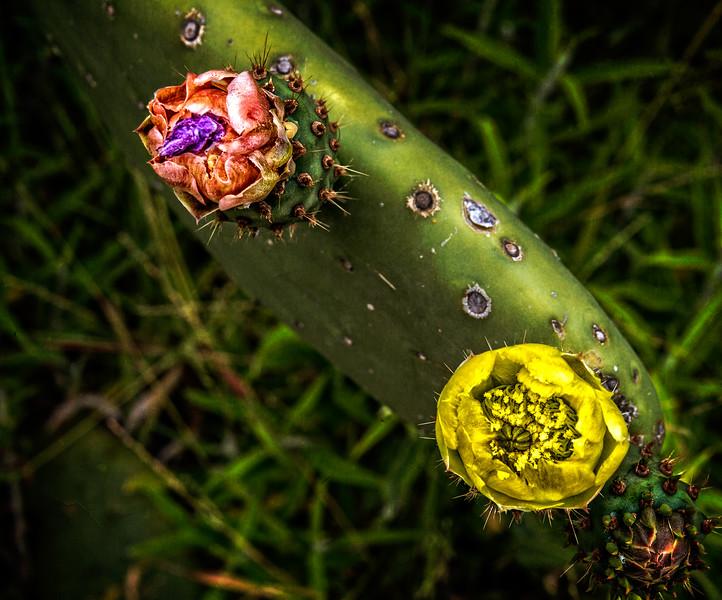 Cactus Flowers-