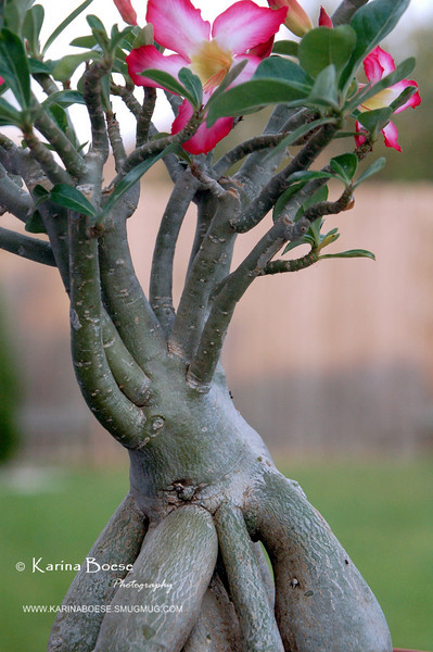 Bonsai Desert Rose Trunk