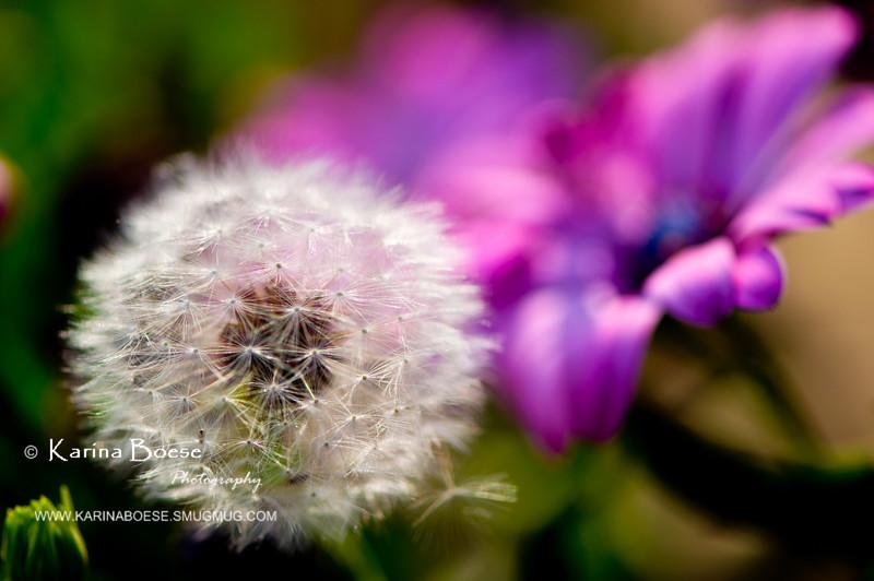 DSC_7453 dandelion weeds macro 2010 1