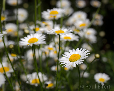 Summer Daisies Are Plentiful