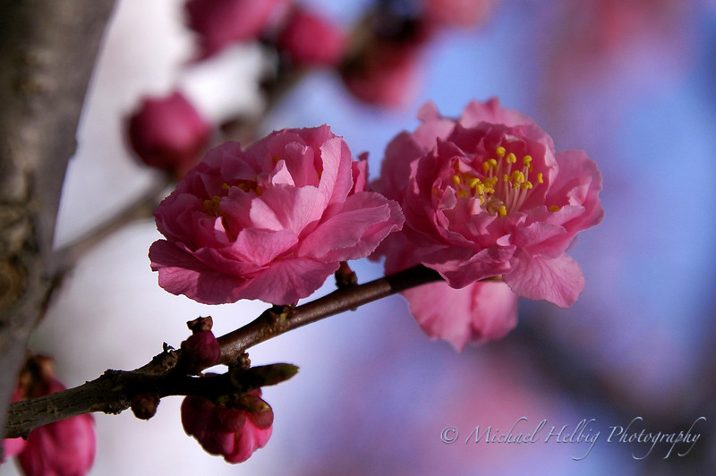 Plum Blossoms - Japan
