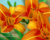 Day Lilies<br /> May 2008
