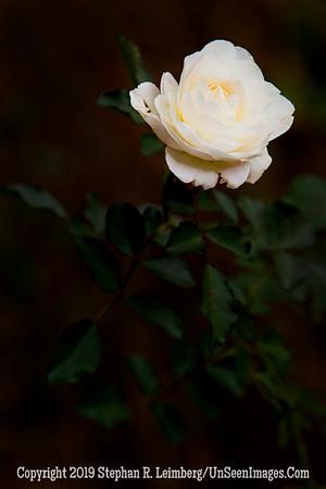 White Flower _L8I1485