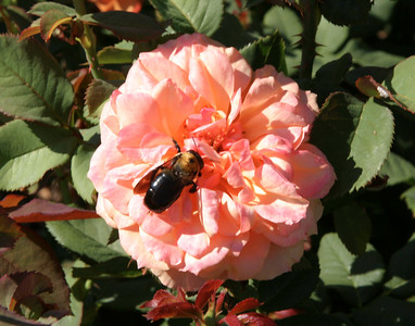 Bee on Rose, Missouri Botanical Garden