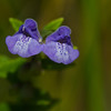 Marsh Skullcap - July 29, 2012