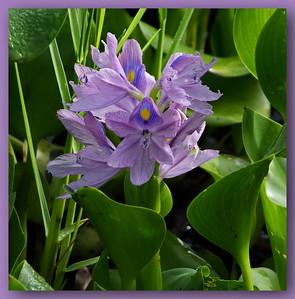 water hyacinth, F900 EXR, Inverness, FL,