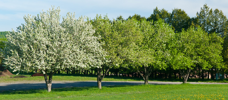 Four Apple Trees 2