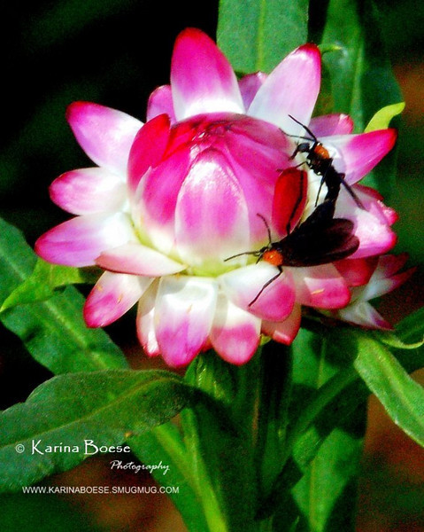 Straw Flowers<br /> Helichrysum 'Ruby Cluster'