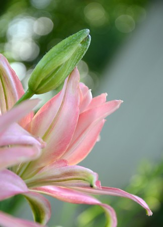 Pink Asiatic Lily Bud and Bloom