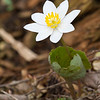 Bloodroot - March 18, 2012