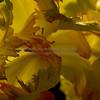 Frizzy Tulip