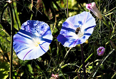 Bee's Buzzing on Morning Glory In Monhegan Island, Maine #2405