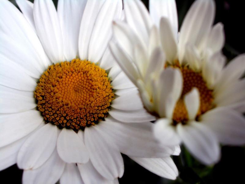 Two white shasta daisies.