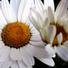 Two white shasta daisies.