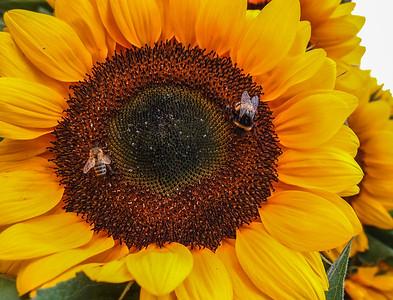 Sunflower. Photo: Martin Bager.