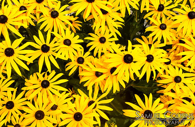A bunch of Black-eyed Susans. Spot the bee.