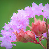 Crepe Myrtle Bloom and Seed Pods