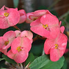 hybrid crown of thorns