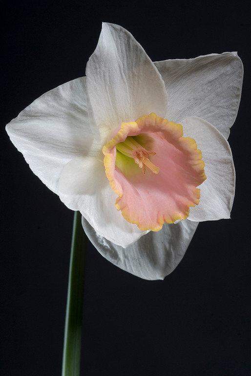 Pale yellow/pink daffodil