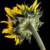 Becky's Sunflower - Copyright 2016 Steve Leimberg - UnSeenImages Com L1010660