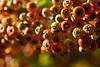 orange berries garden DSC_8898 1