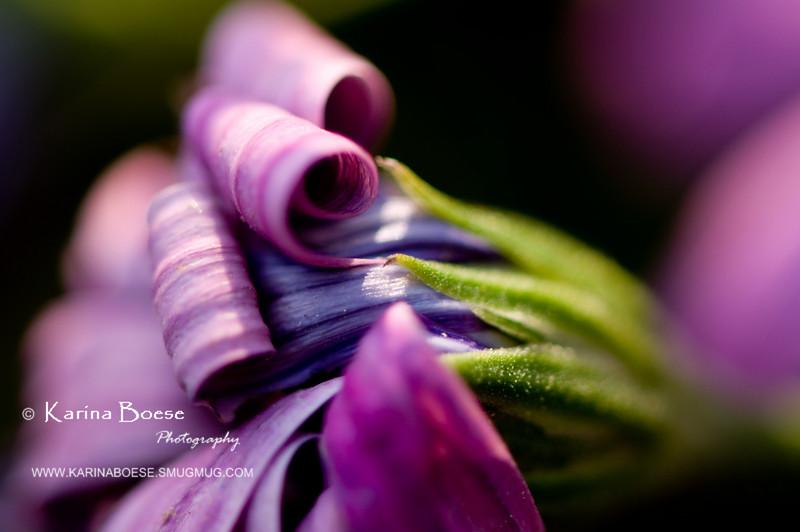 DSC_7467 daisy shriveled end bloom flower purple 2010 1