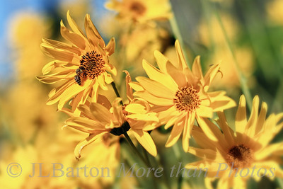 Still Summer 2011-09-14  The days are growing shorter, but these flowers are still blooming away.  A neighbour has a long line of them growing outside her fence, along the street.  They are eye height and so numerous you can hardly see the fence.  I stopped the other day to tell her that one day I would take a picture of them.  Yesterday I did.  Many thanks for the comments on the swimming picture.  Much appreciated.  [and yes, the slide makes a fun way to get into the water - but it still isn't easy getting back out of the water]