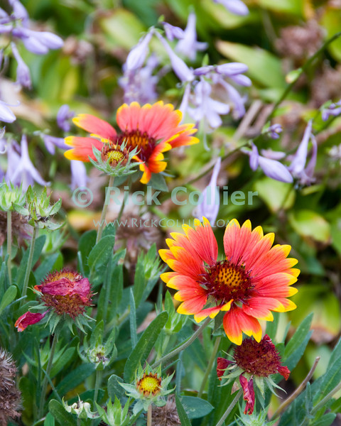 """Butterfly Garden"" - A front yard wildflower ""butterfly garden.""  Ocean Grove, New Jersey, USA.<br /> <br /> <br /> USA ""New Jersey"" NJ ""Ocean Grove"" Ocean Grove sidewalk garden flowers wildflowers butterfly bee flower bed flowerbed"
