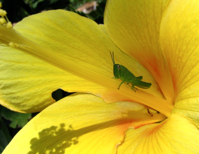 Hopper On A Hibiscus